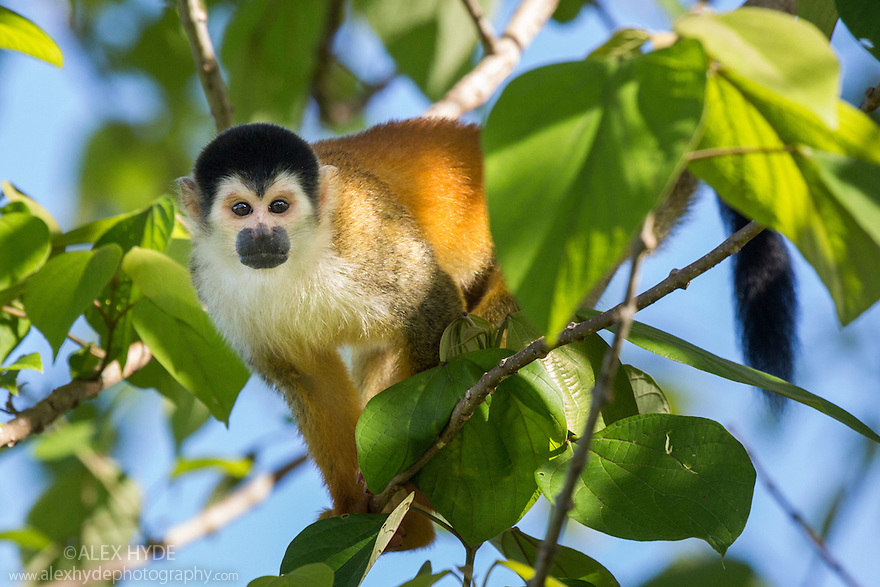 Black-crowned Central American Squirrel Monkey {Saimiri oerstedii oerstedii}. Osa Peninsula, Costa Rica. May. IUCN Red List Vulnerable species.