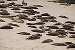 Harbor seals rest on the beach in La Jolla, California.