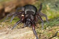 Plattbauchspinne, Mausspinne, Glattbauchspinne, Scotophaeus spec., Mouse Spider, Ground spider, Gnaphosidae, Drassodidae, Plattbauchspinnen, Glattbauchspinnen, Mouse Spiders, Ground spiders