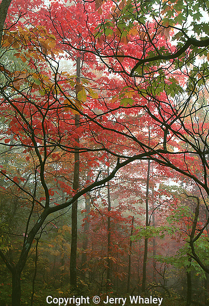 Autumn Forest, Great Smoky Mountains NP, TN