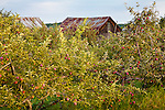 An apple orchard on the Lake Champlain Islands, South Hero, VT, USA