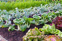 Lettuce, bok choi, kohlrabi, carrots, beans, growing mixed vegetables in the farm garden