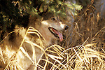 Timber or Grey Wolf, Canis Lupus, Minnesota  USA  .panting in undergrowth, golden sunlight, looking.USA....