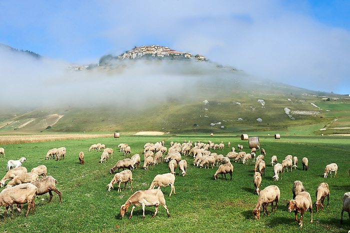 Sheep on the Piano Grande, Gret Plain, of Castelluccio di Norcia, Parco Nazionale dei Monti Sibillini ,  Apennine Mountains,  Umbria, Italy.