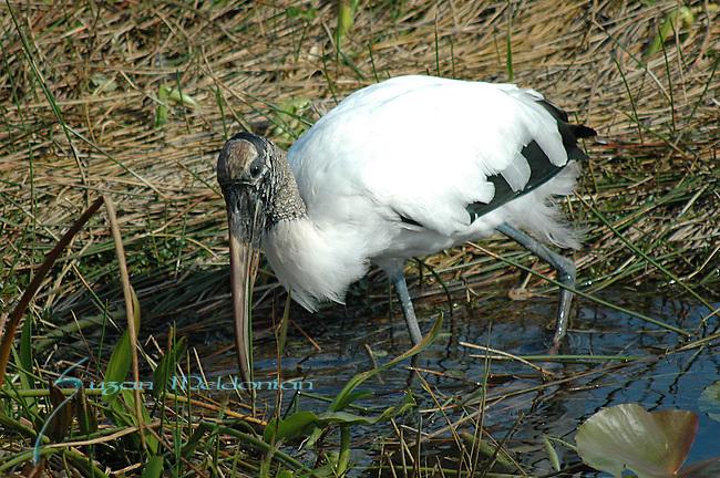 Wood Stork, Endangered Bird