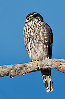 Merlin, Bosque del Apache NWR, New Mexico