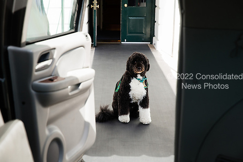 Bo, the Obama family dog, waits for First Lady Michelle Obama on the South Lawn driveway before departing the White House March 20, 2013. Bo accompanied Mrs. Obama during her visit to the Maryland Fisher House IV at the Walter Reed National Military Medical Center in Bethesda, Maryland..Mandatory Credit: Lawrence Jackson - White House via CNP