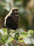 "Mourning Cloak Butterfly.""Nyphalis antiopa"" at the Sepulveda Wildlife Area in.Los Angeles, Ca. May 5, 2007. © Fitzroy Barrett"