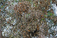 Western Monarch Butterflies (Danaus plexippus) in wintering cluster, coastal California.  From a distance the clustering monarchs look like dead leaves.