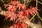 Japanese maple tree in autumn colour, Acer Palmatum, National arboretum, Westonbirt arboretum, Gloucestershire, England, UK 'Matsumurae'
