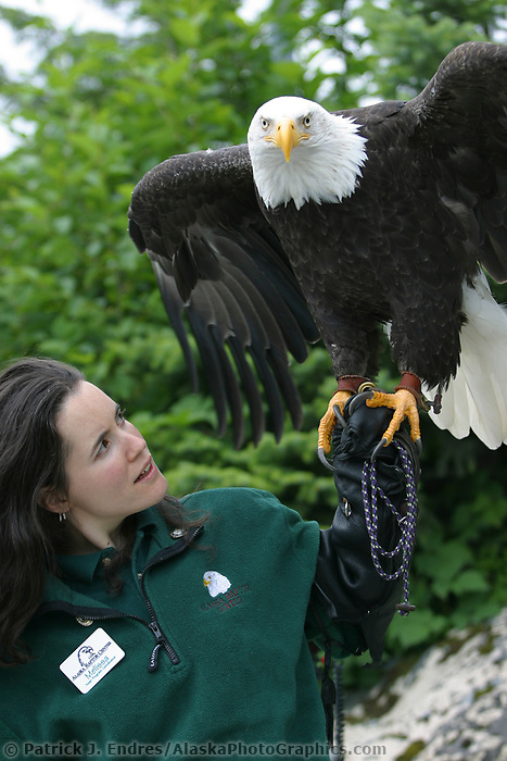 Melissa Wentzell holds recovering Bald eagle at the Alaska Raptor Center, which provides medical treatment to injured bald eagles and other birds. The Alaska Raptor Center's 17-acre campus borders the Tongass National Forest, a temperate coastal rainforest, and the Indian River in Sitka, Alaska,