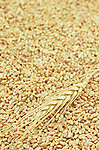 Wheat stem and grains.