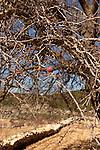 Israel, the Upper Galilee. The fruit of the Hawthorn tree (Crataegus Azarolus) on Mount Meron