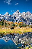 A bull moose pauses to cast his reflection onto the reflection of the Grand Tetons in a beaver pond in Grand Teton National Park<br />