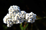 IMAGES OF THE YUKON,CANADA , YARROW