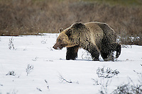 Grizzly Bear, Hayden Valley, Yellowstone National Park