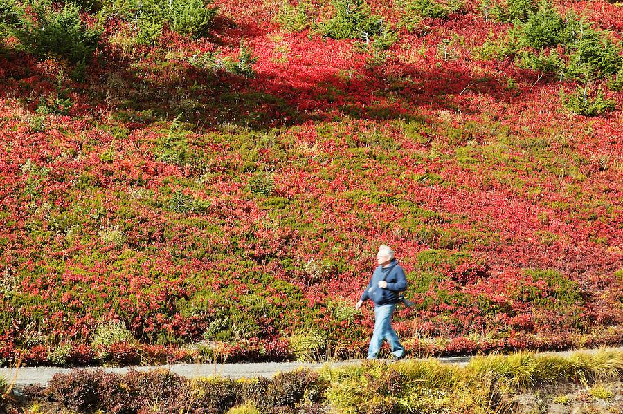 Man walking through autumn colored subalpine meadow, Paradise Meadows, Mount Rainier National Park, Washington, USA