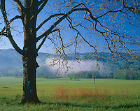 Great Smoky Mountains National Park, TN: Morning sun on reaching low branches - spring pastures and distant fog in Cades Cove