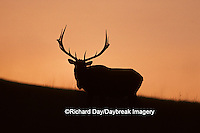 01980-00812 Elk or Wapiti (Cervus elaphus) bull at sunset    MT