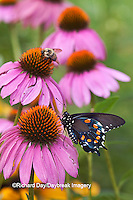 03004-01210 Pipevine Swallowtail Butterfly (Battus philenor) male on Purple Coneflower (Echinacea purpurea) Marion Co., IL