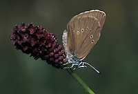 Dusky Large Blue, Maculinea nausithous, adult on Great Burnet  (Sanguisorba officinalis) , Rheindelta, Germany, Europe