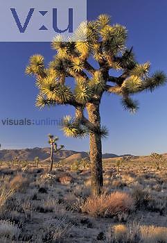 Joshua Tree ,Yucca brevifolia,, Mojave Desert, California, USA.