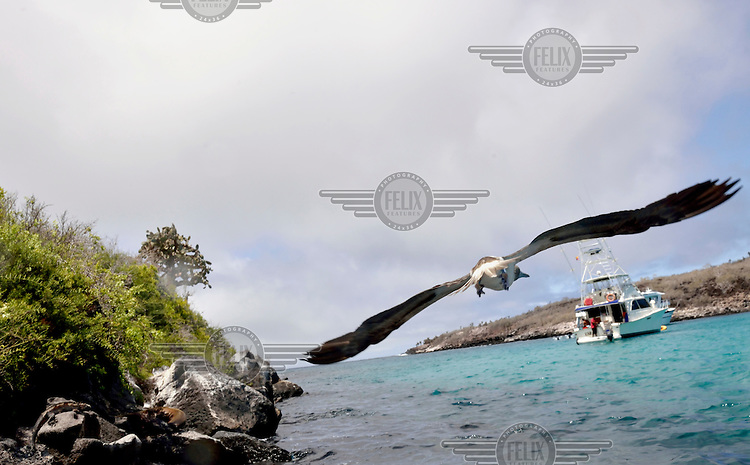 A Blue-footed Booby flies off from Santa Fe Island.