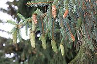 Gewöhnliche Fichte, Fichte, Zapfen, Fichtenzapfen, Rot-Fichte, Rotfichte, Picea abies, Common Spruce, Spruce, Norway spruce, cone, cones, L'Épicéa, Épicéa commun