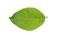 Sal-Weide, Salweide, Weide, Salix caprea, Goat Willow, Pussy Willow, Sallow, great sallow, Le Saule marsault, Saule des chèvres. Blatt, Blätter, leaf, leaves