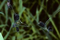 Gebänderte Prachtlibelle, als Beute im Netz einer Spinne, Spinnennetz, Pracht-Libelle, Calopteryx splendens, Agrion splendens, banded blackwings, banded agrion