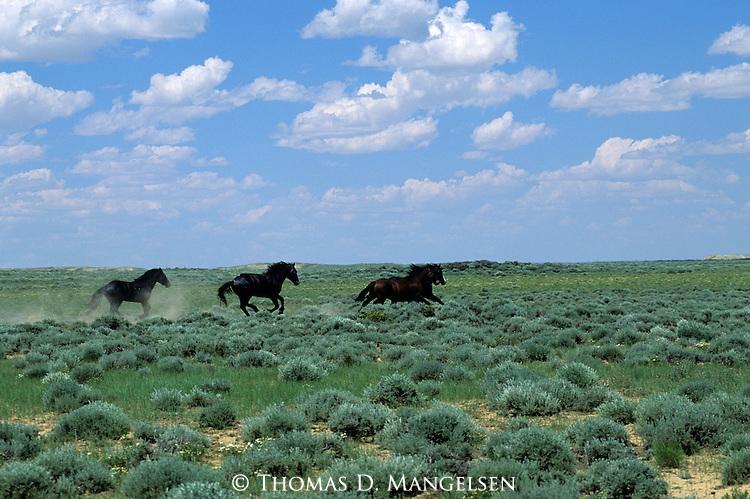 Wild Horses run across the Red Desert in Wyoming.