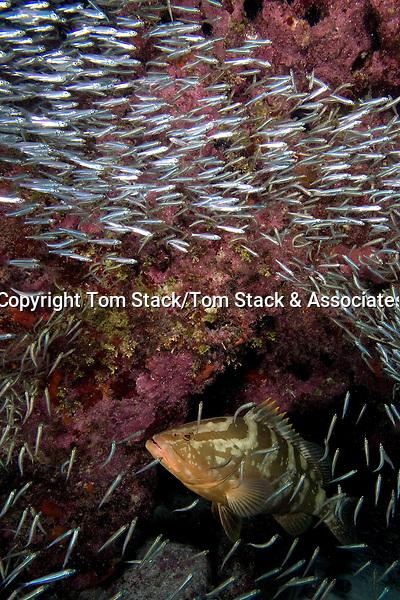 Nassau Grouper, Epinephelus striatus, an Endangered Species, in a school of baitfish, Florida Keys National Marine Sanctuary