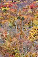 Autumn forest detail, White Mountains National Forest, New Hamshire, USA.