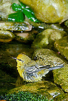 Blue winged warbler bathing