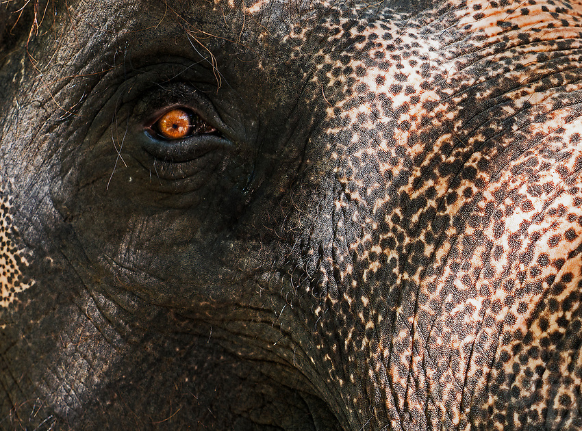 """""""I am watching you"""" Elephant close up of head and Eye. Thailand"""