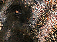 """I am watching you"" Elephant close up of head and Eye. Thailand"
