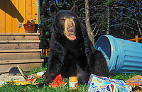 Black Bear raiding household garbage..Summer. Rocky Mountains..(Ursus americanus).