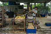 28 year old worker, Feri Ferdianto crushes the recycled fruits and vegetables at the pilot project farm involving maggot production in village Kundang, at the outskirts of capital Kuala Lumpur, Malaysia.