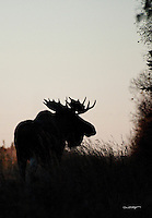 A silhouetted bull moose seeks food before winter sets in on Alaska's Kenai Peninsula.
