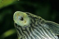 Schwarzlinien-Harnischwels, Panaque nigrolineatus, Chaetostomus nigrolineatus, royal panaque, royal plec, royal pleco, Le Pléco royal, Royal pléco