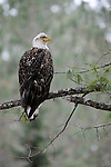 bald eagle, sitting