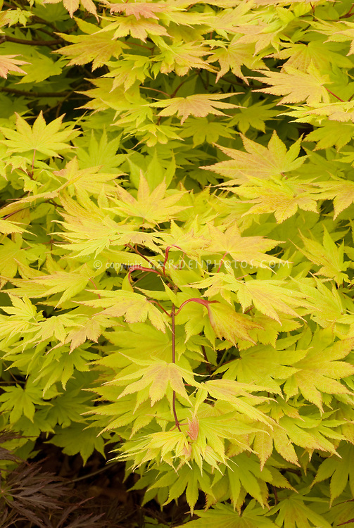 Acer Shirasawanum Autumn Moon Plant Flower Stock Photography