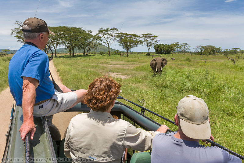 Tourist view African Elephants from a safari vehicle in the, Serengeti National Park, Tanzania, East Africa