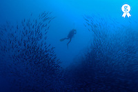 Scuba diver by school of pelican barracudas, underwater view (Licence this image exclusively with Getty: http://www.gettyimages.com/detail/200482603-001 )