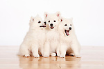 20110709 American Eskimo Puppies
