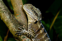 The Eastern Water Dragon (Physignathus lesueurii) is a large lizard found living along waterways in Sydney. It is grey-brown in colour with black banding and a row of spines from the crest of the head to the tail. There is usually a broad black stripe extending from the eye to the back of the head, and males often have a red belly and chest.