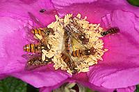 Hain-Schwebfliege, Gemeine Winterschwebfliege, Winter-Schwebfliege, Hainschwebfliege, Schwebfliege, Schwebfliegen auf Blüte, Blütenbesuch, Insektenansammlung, Parkschwebfliege, Episyrphus balteatus, marmalade hoverfly, Blütenbesuch auf Kartoffel-Rose, Kartoffelrose, Runzel-Rose, Runzelrose, Rose, Rosa rugosa, Japanese Rose