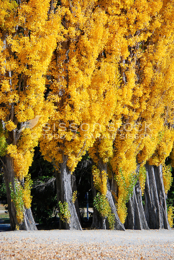 Row of golden poplars, Lake Wanaka, Autumn, Stock Image, New Zealand