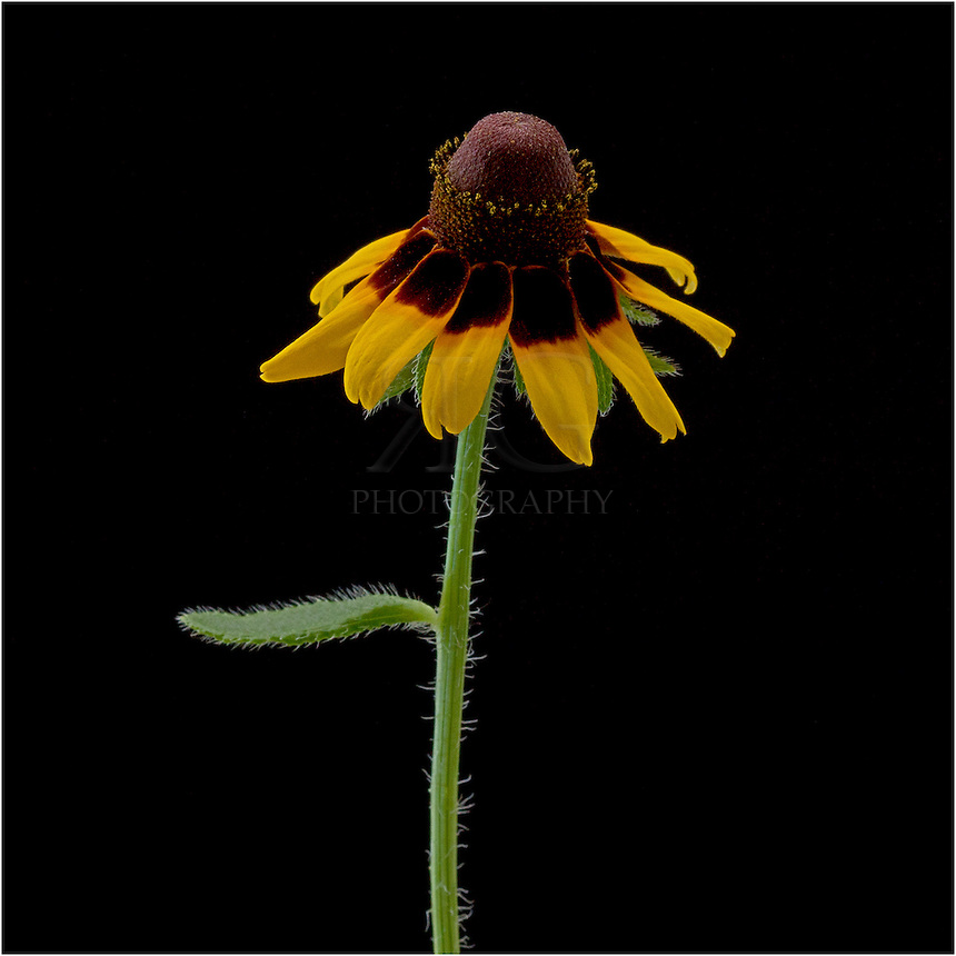 The Brown-eyed Susan is a cone like Texas Wildflower with a dark center and golden petals slanting downward. These lovely wildflowers bloom in the summer months, but are not considered to have a long bloom life.