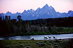 Elk and their calves cross the Buffalo Fork River Below the Teton Range in Grand Teton National Park, Wyoming.